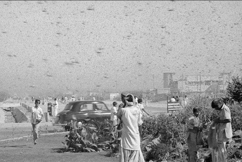 A locust attack in Karachi (1956).