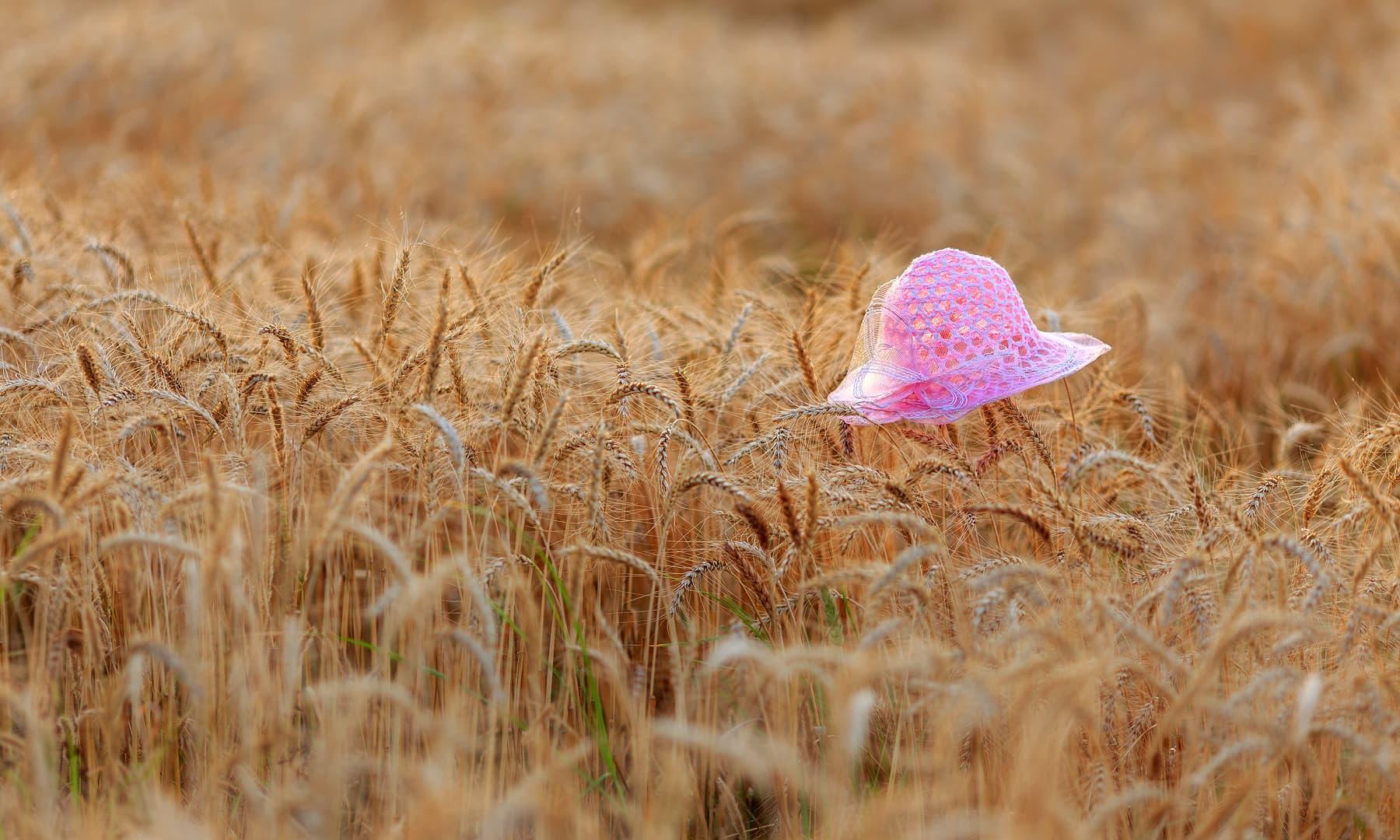 ہزارہ میں گندم کی فصل.— فوٹو سید مہدی بخاری