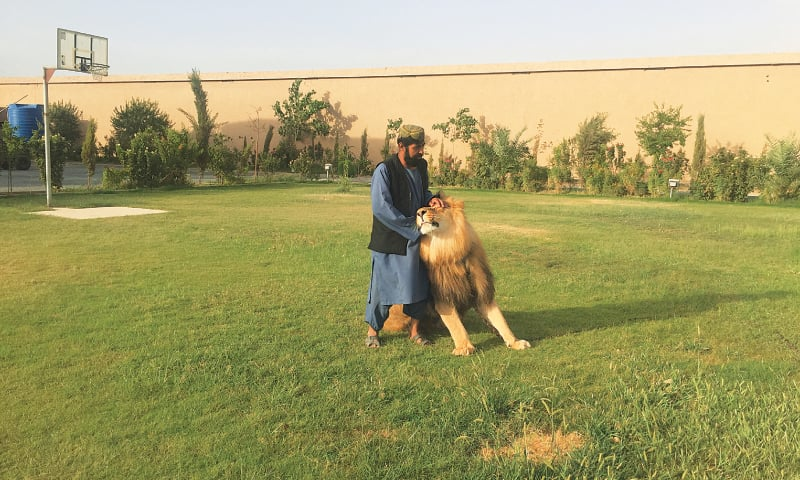 SAYEED Rassool takes pride in the bond he's built with Shira, the lion.—Photo by writer