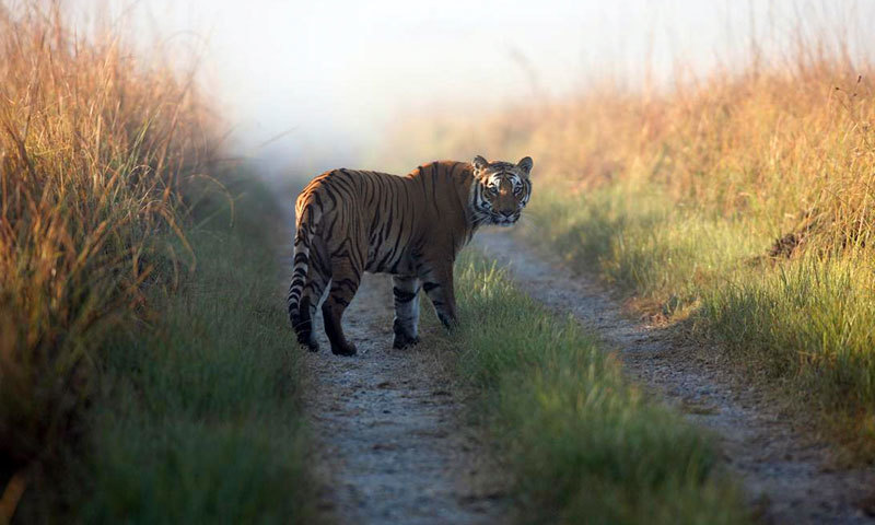 This file photo released by Corbett Tiger Reserve, shows a tiger at the reserve in the northern Indian state of Uttarakhand. -  AP