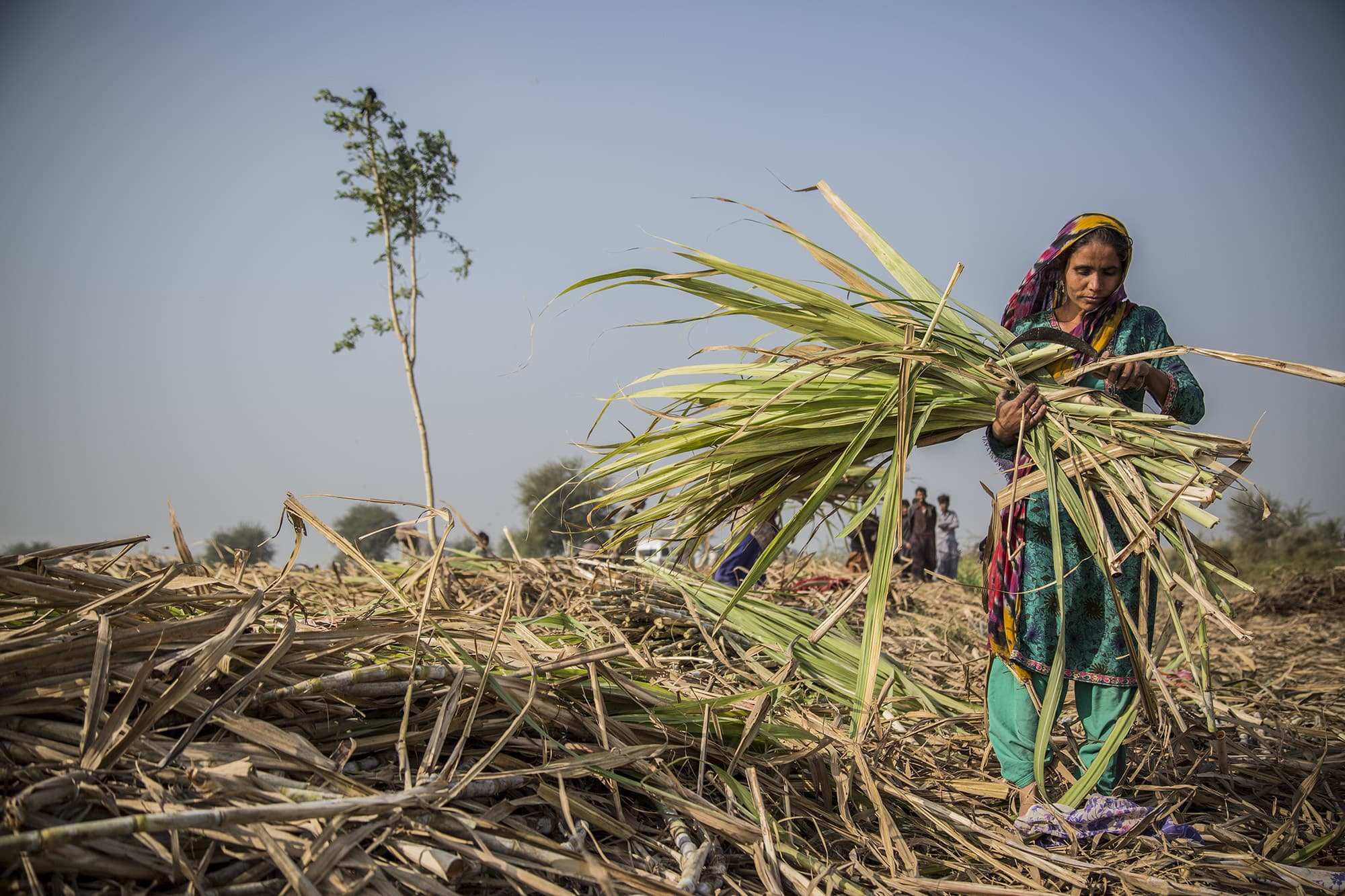 A woman harvesting sugarcane in Badin. - Photo by Shameen Khan