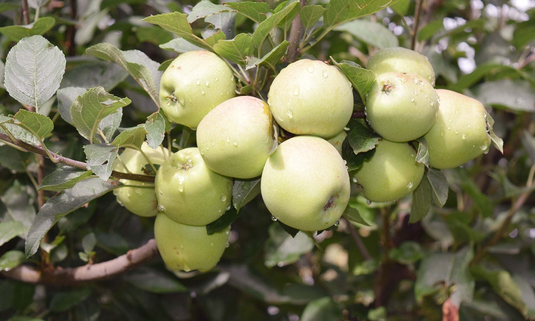 A branch of Fransisi apple tree full of fruits.
