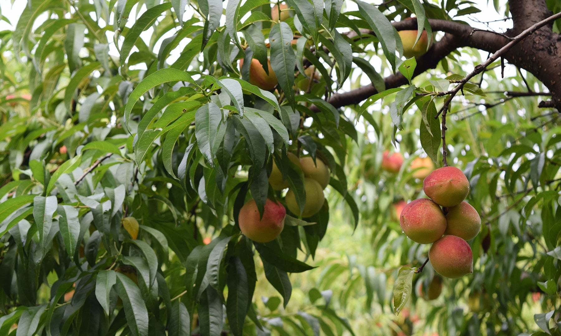 A 'large peach' tree.