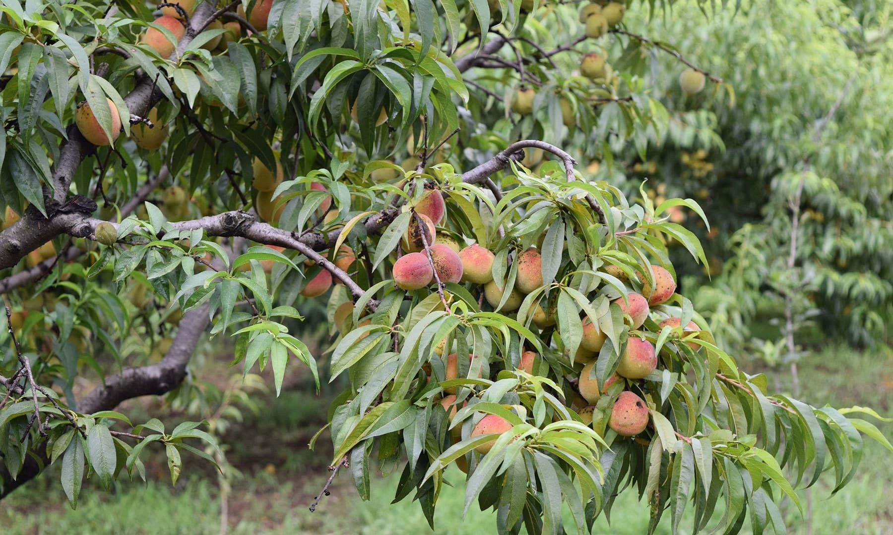 Another peach tree.
