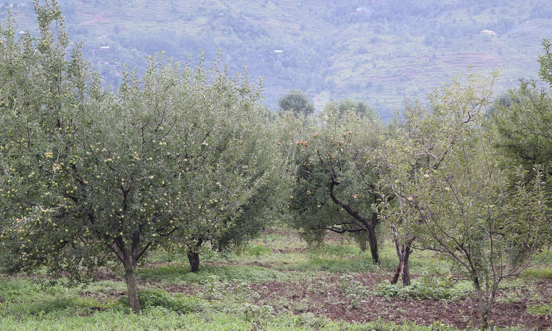 View of an orchard of Fransisi and Samret apples.