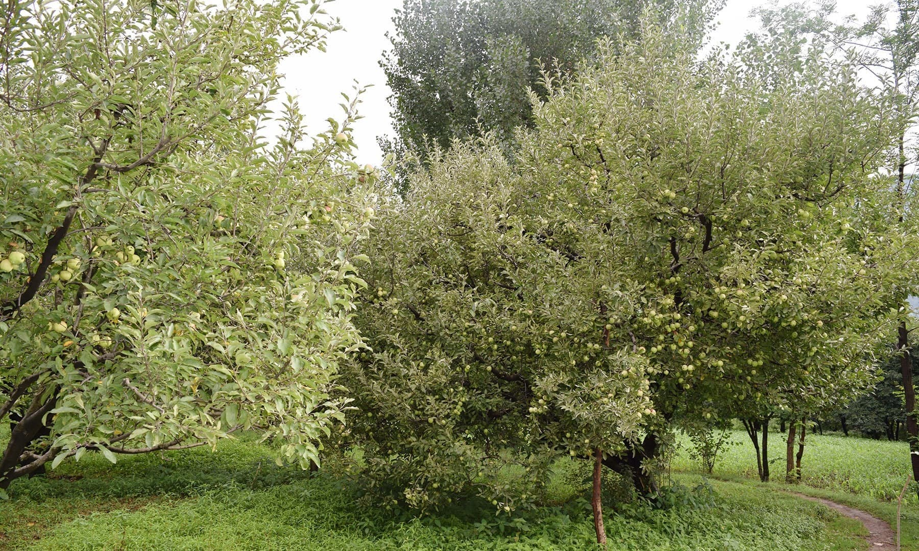 View of an orchard of Watani and Fransisi apple.