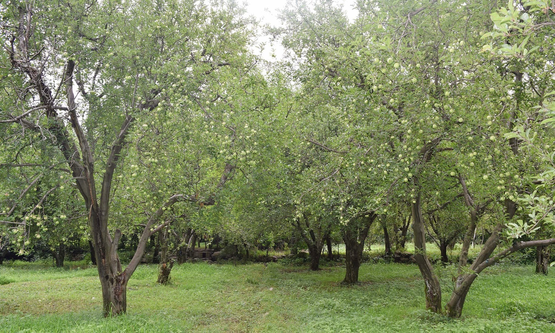A beautiful view of an orchard located in middle of the village.