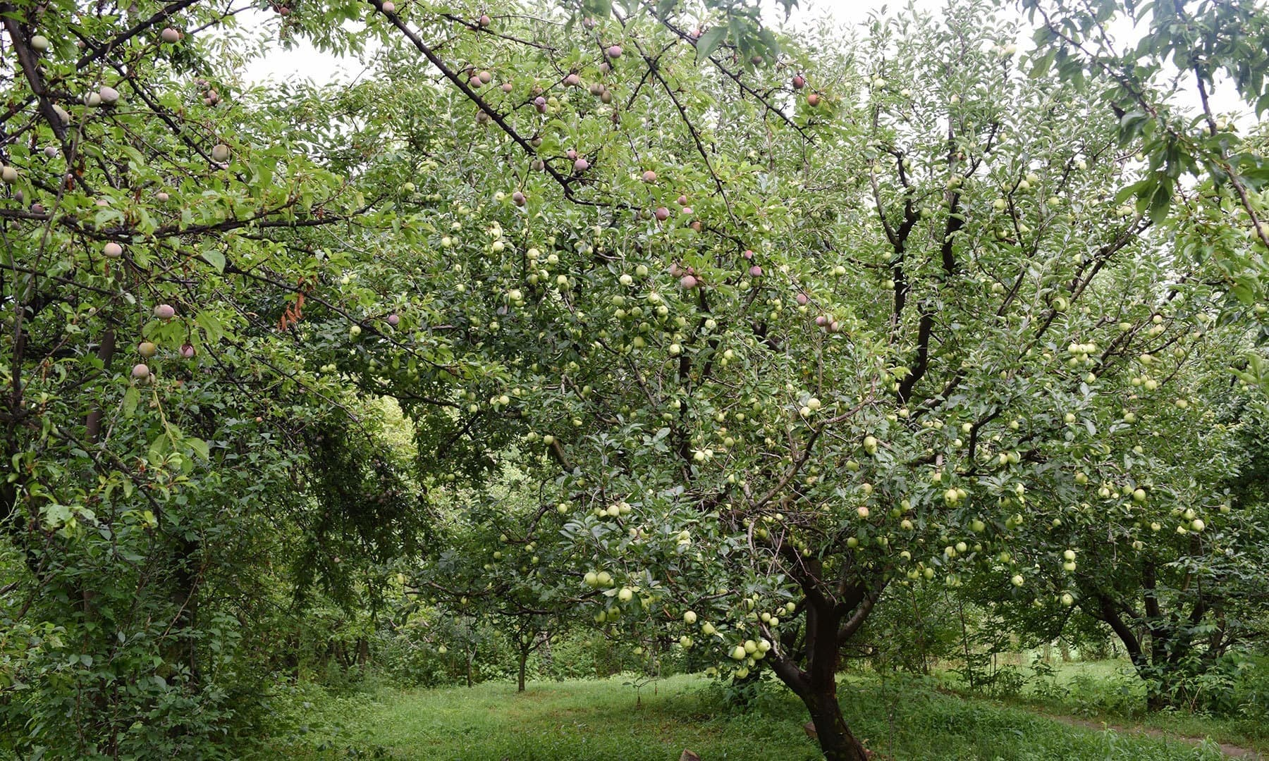 Trees of Fransisi apples and local plums are face to face.