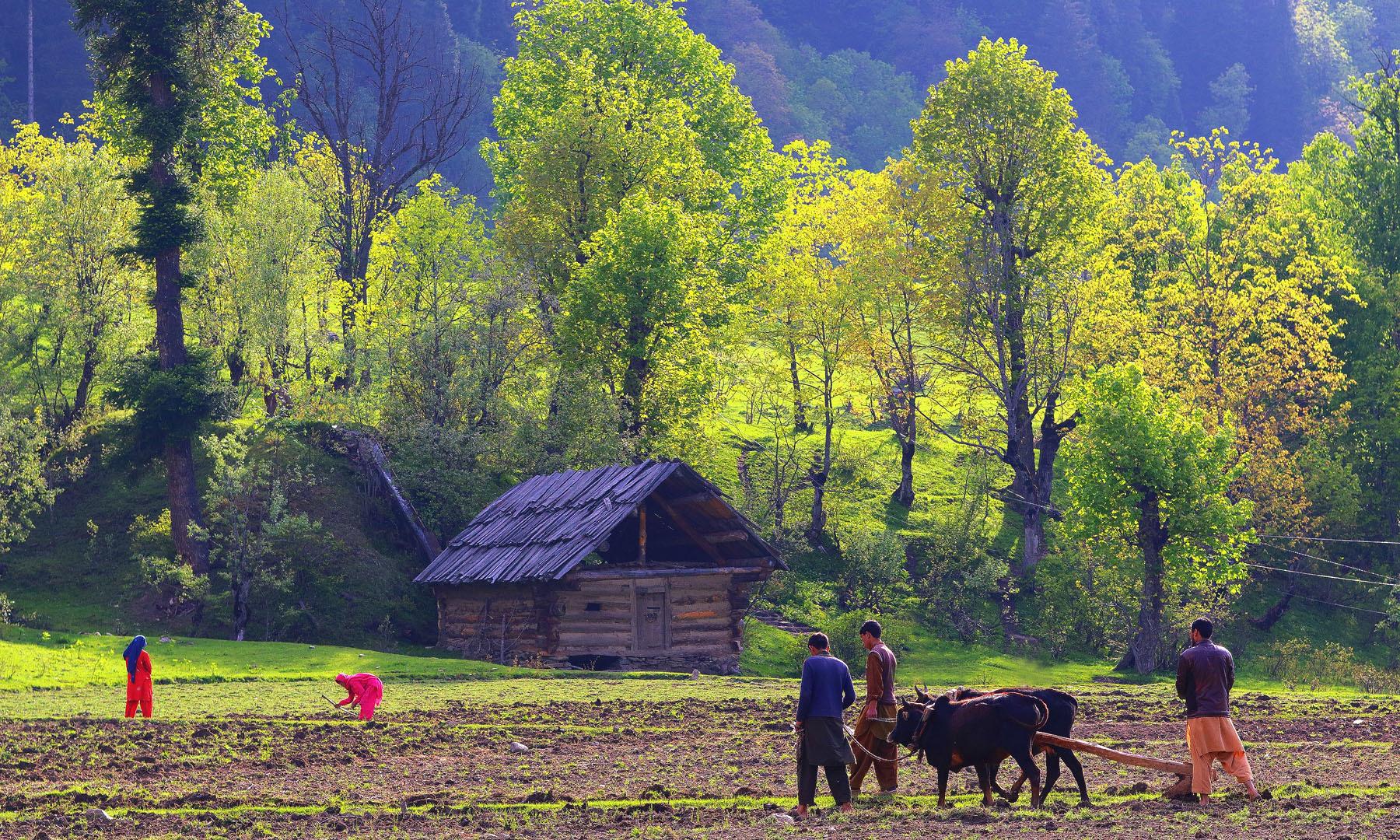 تاؤ بٹ کے کھیت.— فوٹو سید مہدی بخاری۔