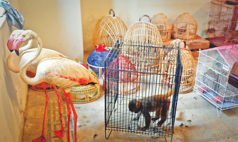 Animals and birds confiscated in a raid on the Empress Market on Monday are kept in the wildlife office in Saddar.—White Star