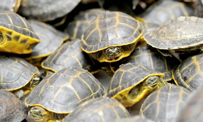 Earlier this year, over 200 black pond turtles destined for Bangkok, were confiscated at the Karachi airport. —AFP/File