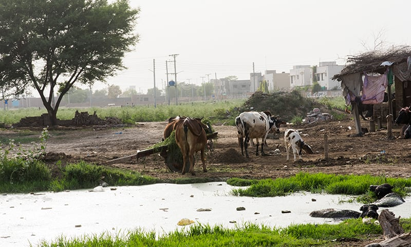 A dairy farm near Raiwind