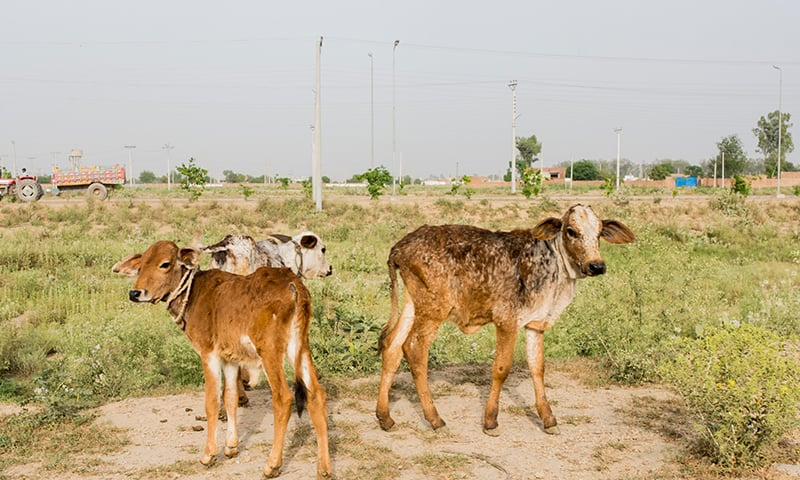 The livestock head out for grazing at a dairy farm near Pattoki
