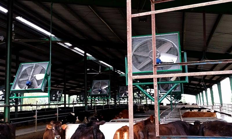 Buffaloes in a dairy farm
