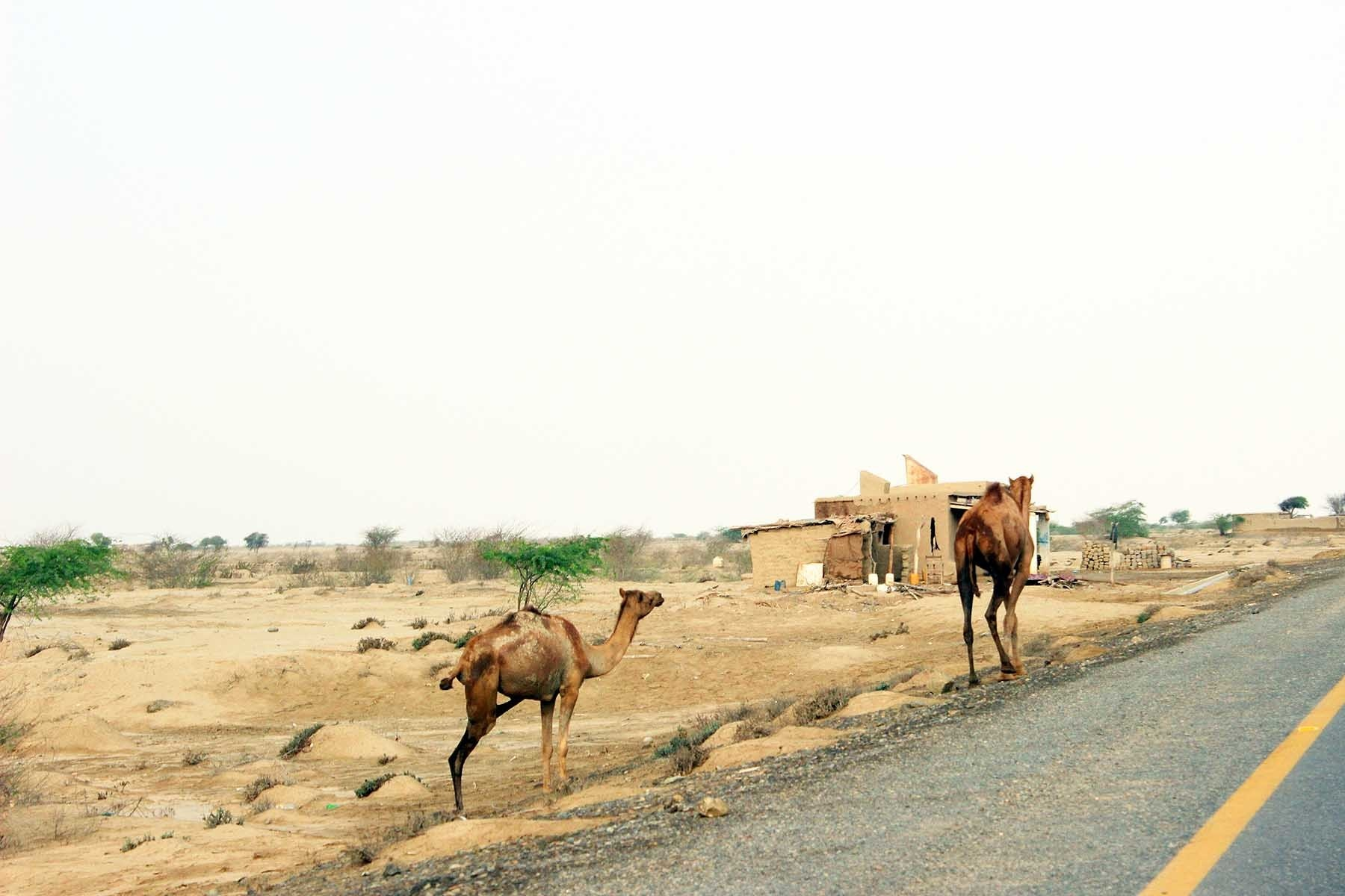 Camels travelling on the road of peace.