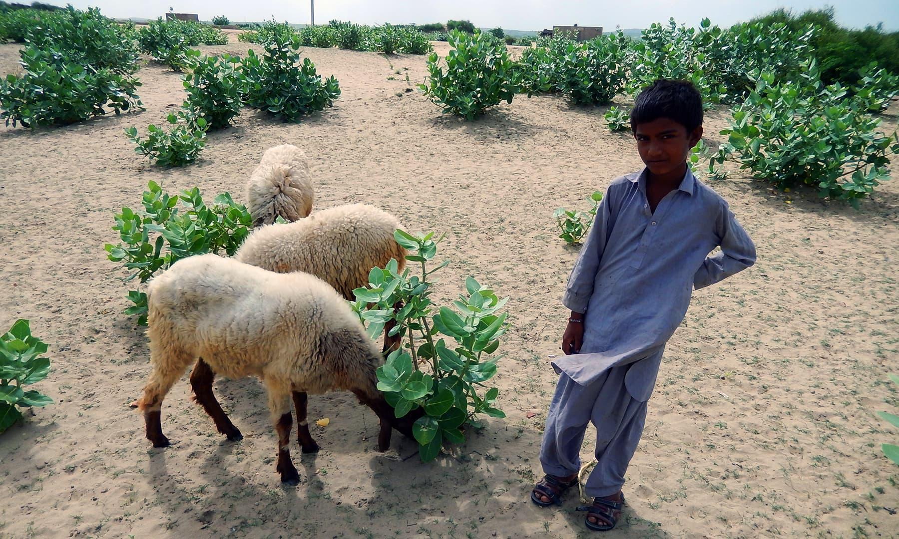 ایک تھری بچہ اپنی بھیڑوں کے ساتھ.