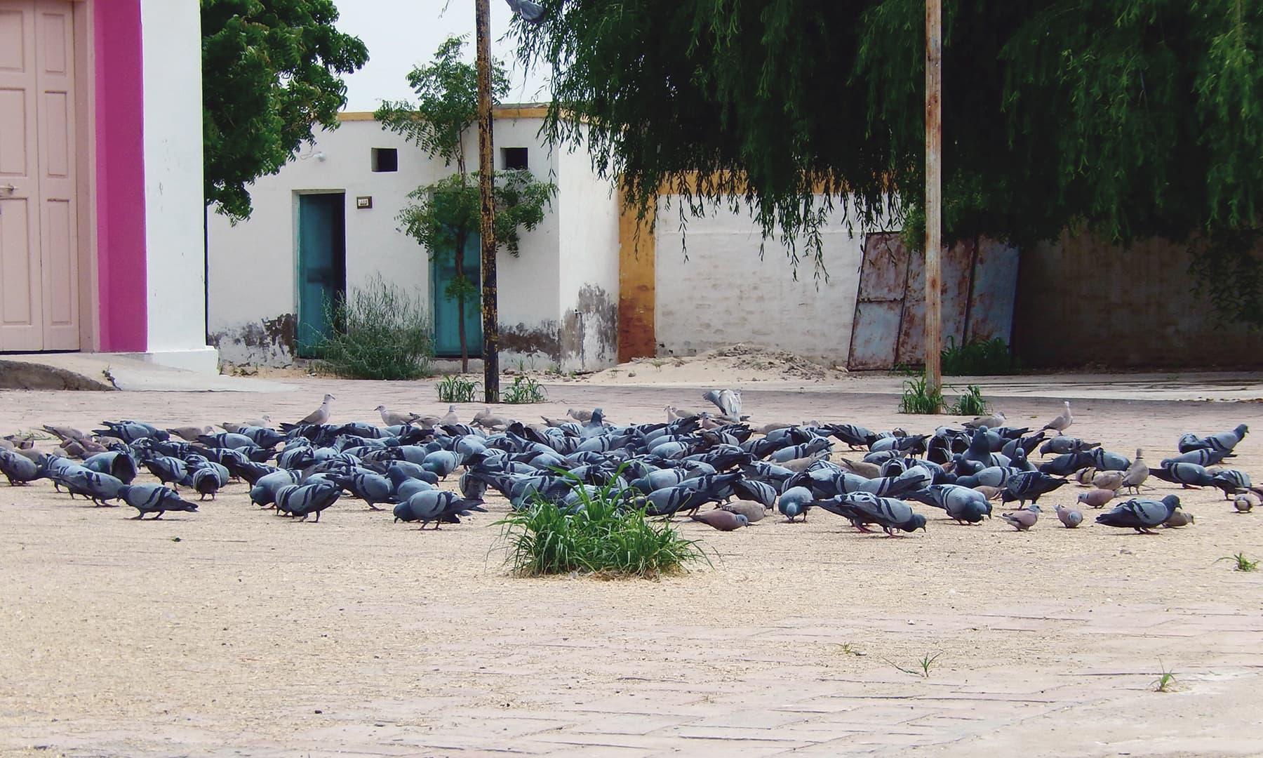 سنت نینورام آشرم میں دانہ چگتے کبوتر.