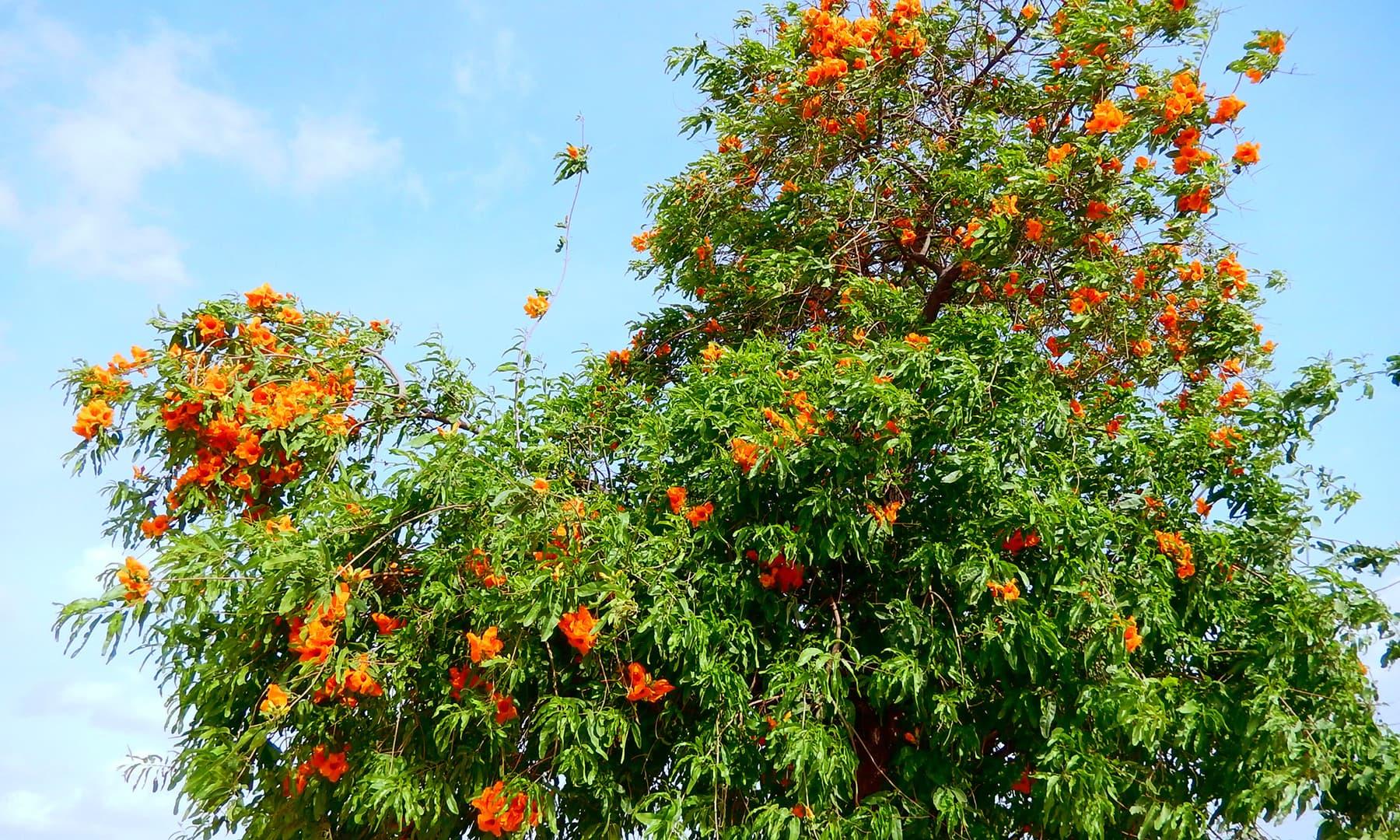 روہیڑو کا درخت.