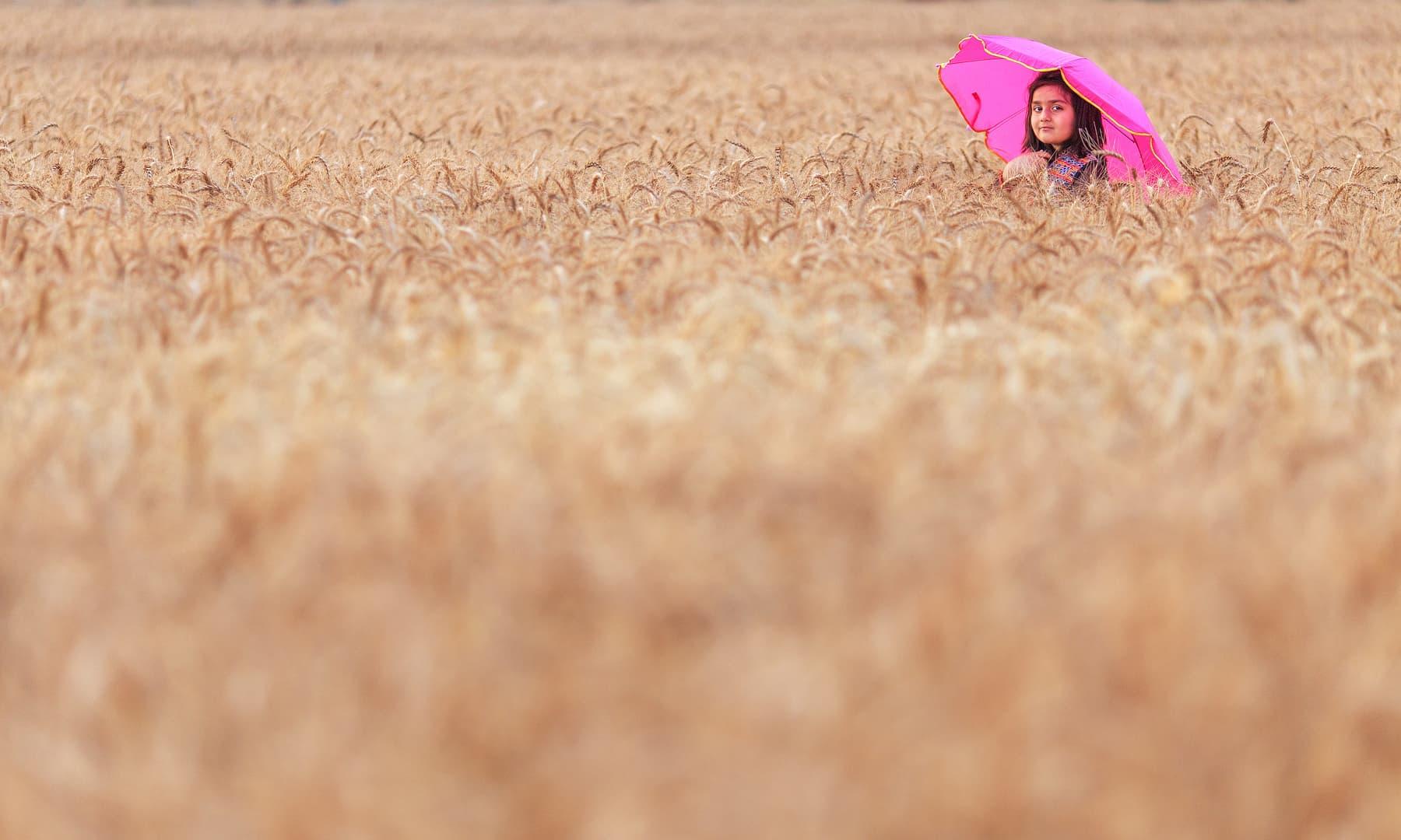 مرالہ کے نزدیک گندم کے کھیت.— فوٹو سید مہدی بخاری۔