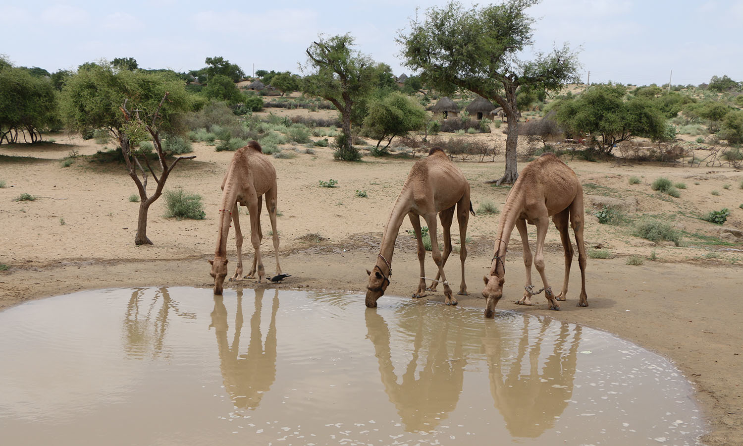 Camels drink water in drought-stricken Thar.—Photo by Hussain Nagri