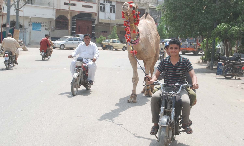 Motorist holding a sacrificial camel for Eidul Azha. — PPI