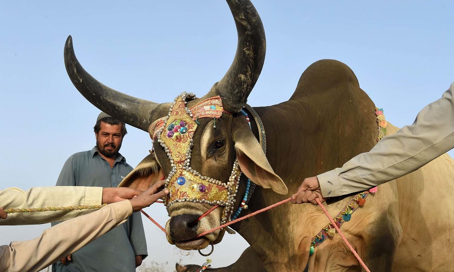 Muslims hold a cow at a livestock market ahead of the sacrificial Eidul Azha festival in Quetta. — AFP