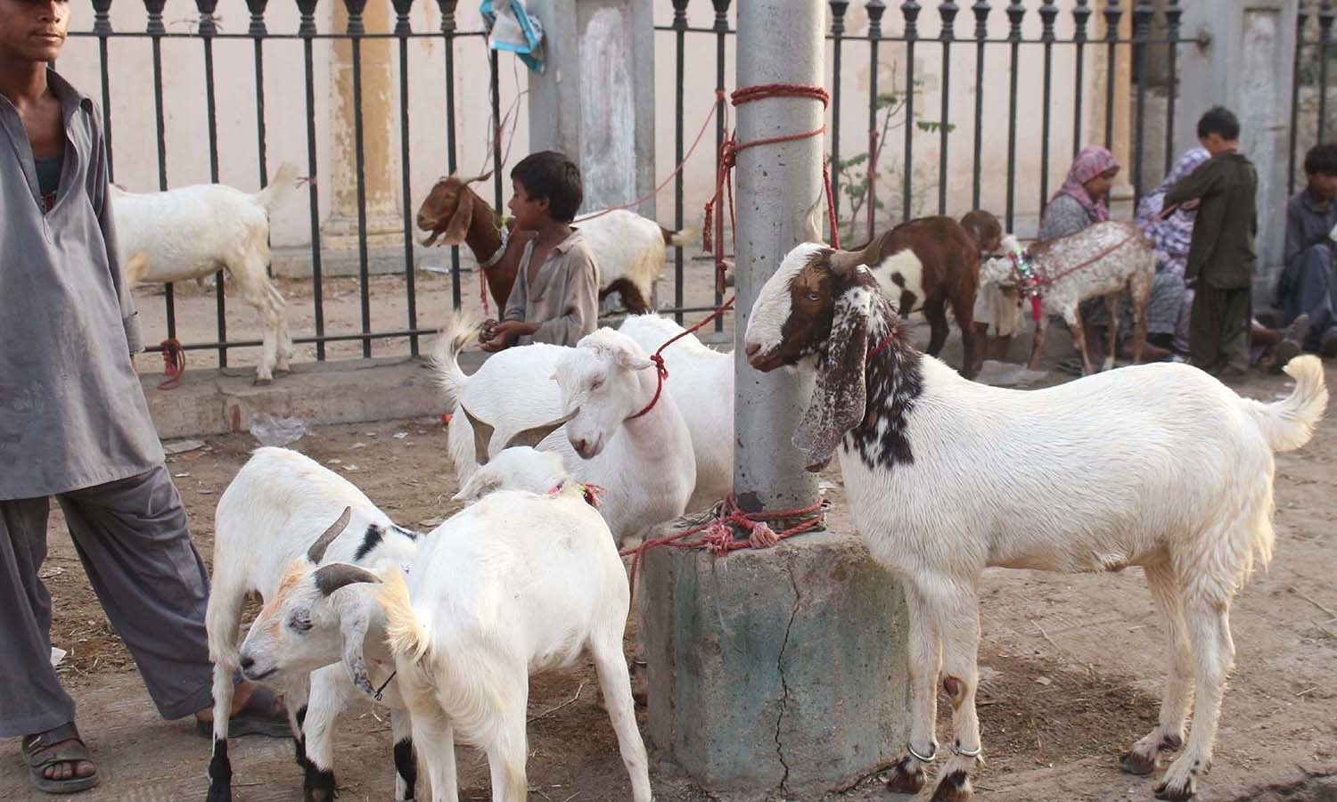 Goats for sacrifice are being selling on a footpath located in  Pakistan Chowk area, on the occasion of Eidul Azha coming ahead in Karachi. — PPI