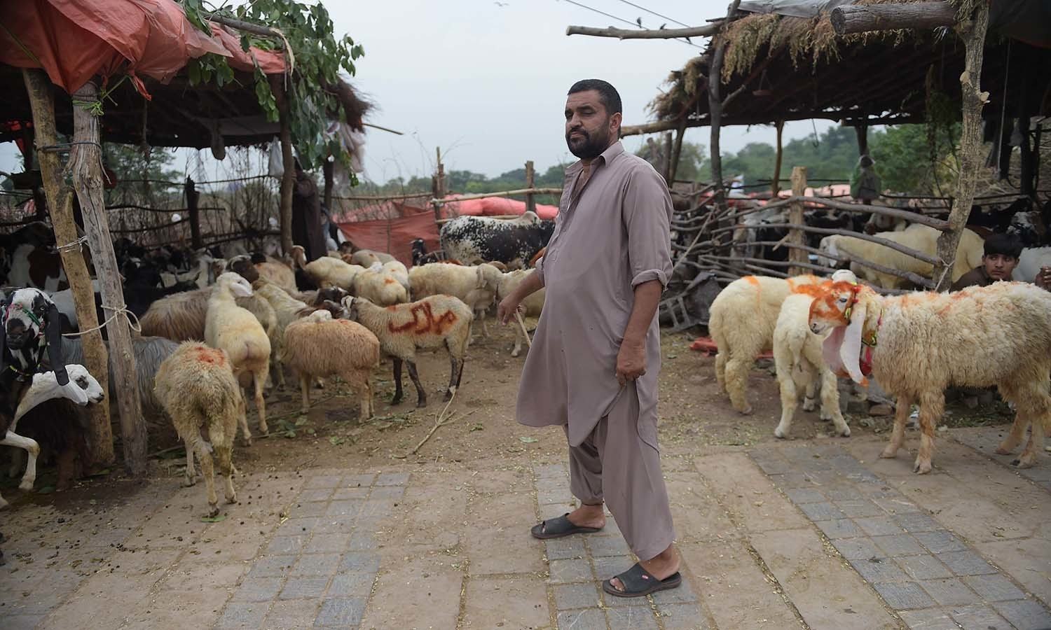 A seller waits for customers at a livestock market ahead of the sacrificial Eidul Azha festival in Islamabad. — AFP