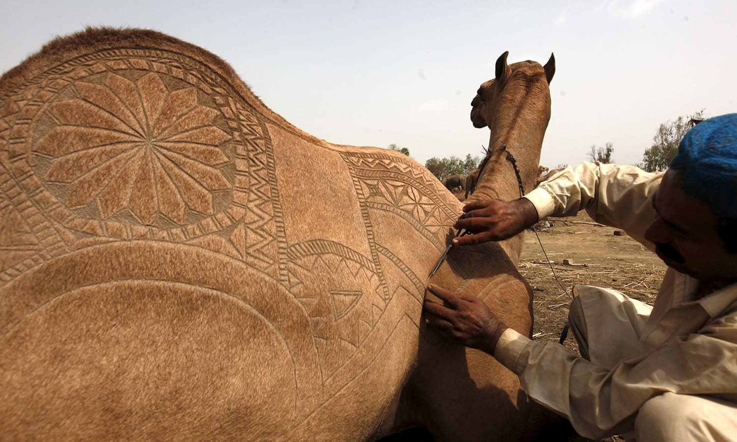 A sacrificial camel gets a haircut with patterns at the animal market on the outskirts of Karachi. ─ Reuters