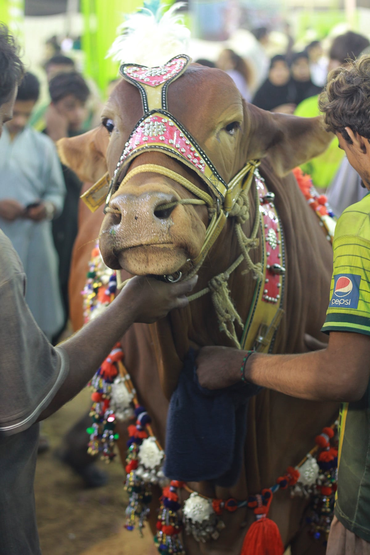 One of the best breeds is from Cholistan, Punjab. —Adeel Ahmed