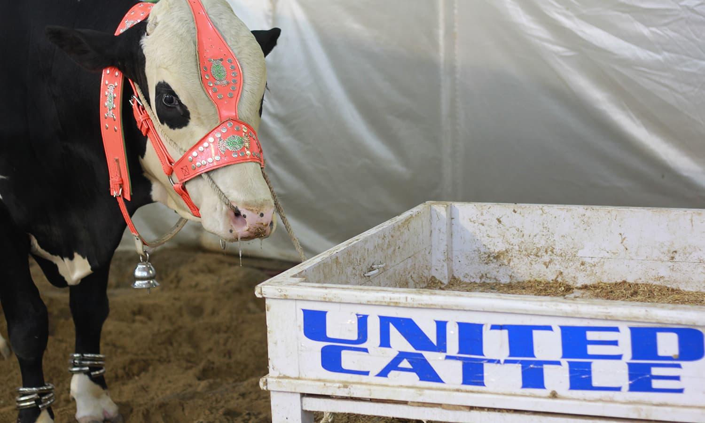 Inside the United Cattle Farm. —Yumna Rafi