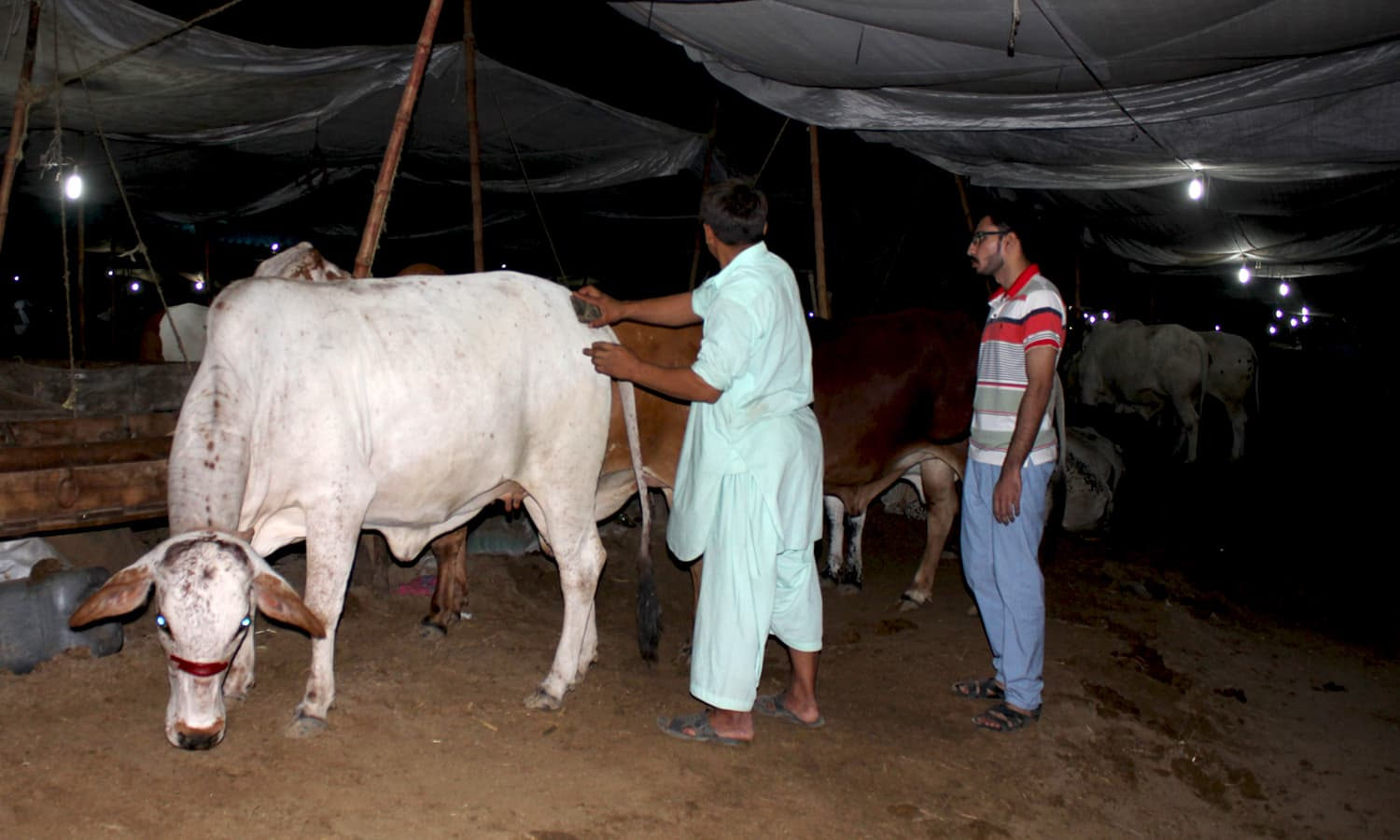 An owner washes his cow. —Yumna Rafi