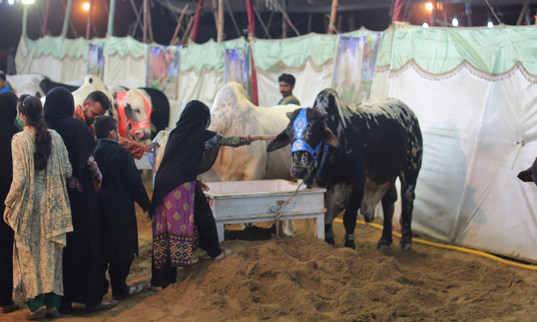 A girl tries to pet a bull. —Yumna Rafi