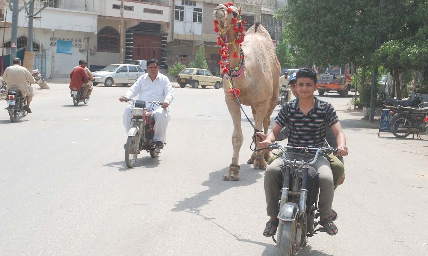 Sometimes you'll find more than just a bakra on your block. Camel, anyone? -- Photo: PPI