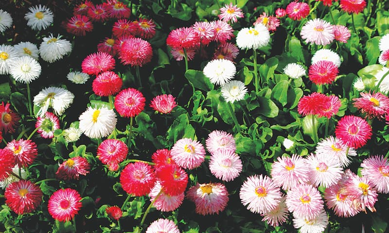 Pretty bellis