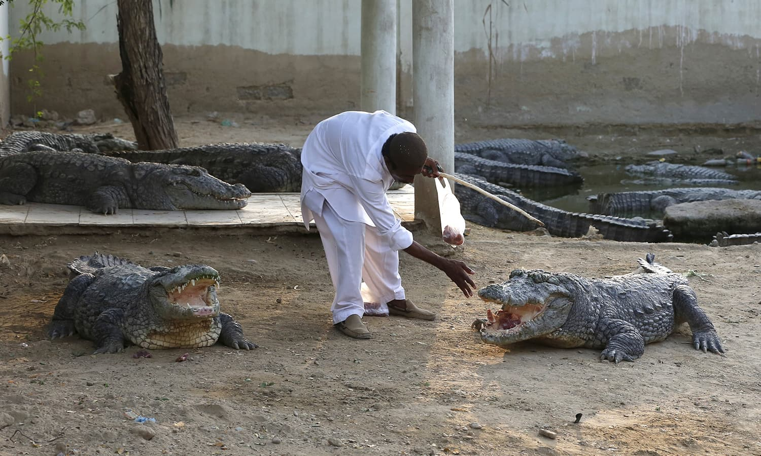 Caretaker feeds crocodiles at the Sufi shrine of Hasan-al-Maroof Sultan Manghopir, better known as the Crocodile Shrine, on the outskirts of Karachi. —Reuters