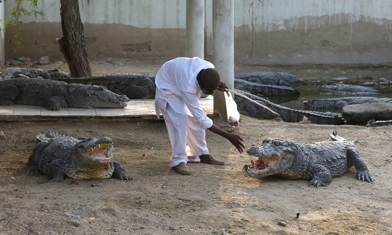 Caretaker feeds crocodiles at the Sufi shrine of Hasan-al-Maroof Sultan Manghopir, better known as the Crocodile Shrine, on the outskirts of Karachi. —Reuters