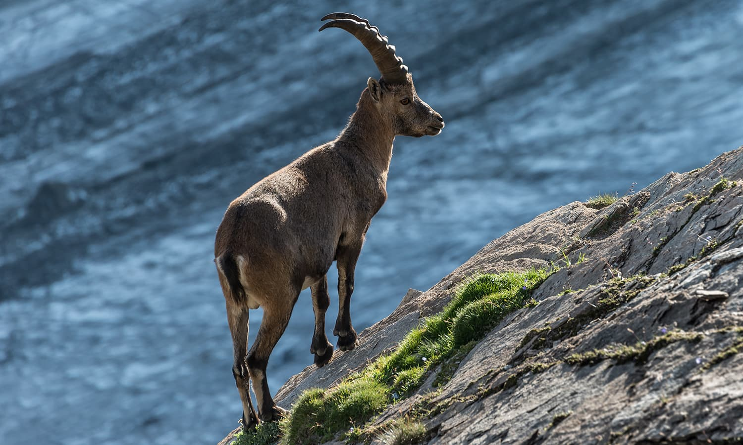 Third place: the Alpine ibex (Capra ibex), or Steinbock, in an Austrian national park in the Hohe Tauern mountain range. —Photo by Bernd Thaller
