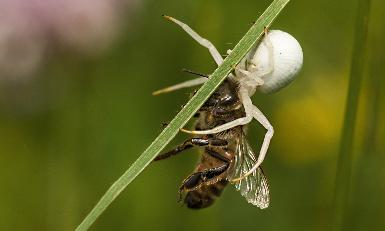 Fourth place: a spider (Misumena vatia) with a freshly killed bee in the Bratental nature reserve, near Göttingen, Lower Saxony, Germany.  — Photo by Suhaknoke