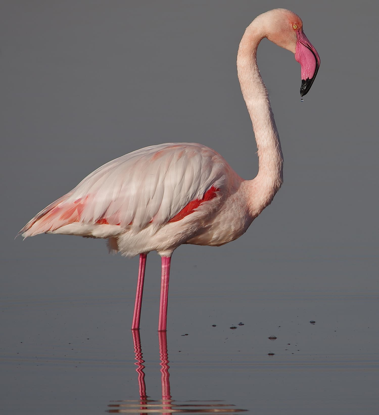 Eleventh place: Greater flamingo (Phoenicopterus roseus), Salines de Thyna Ramsar site, Tunisia. — Photo by Elgollimoh