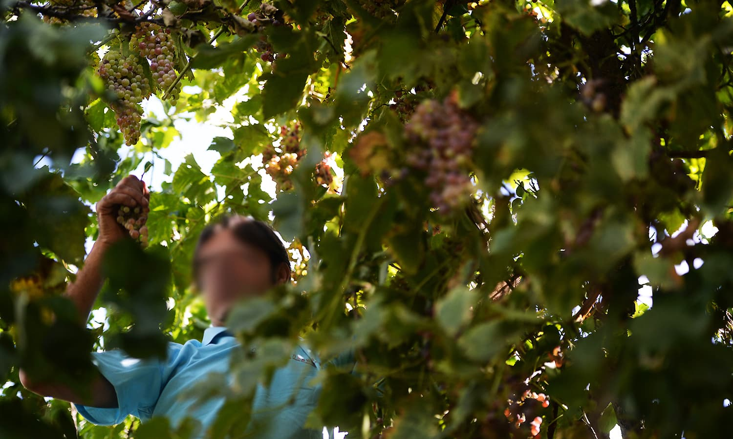 Ahsan picks grapes from a tree for brewing wine in his garden. ─ AFP