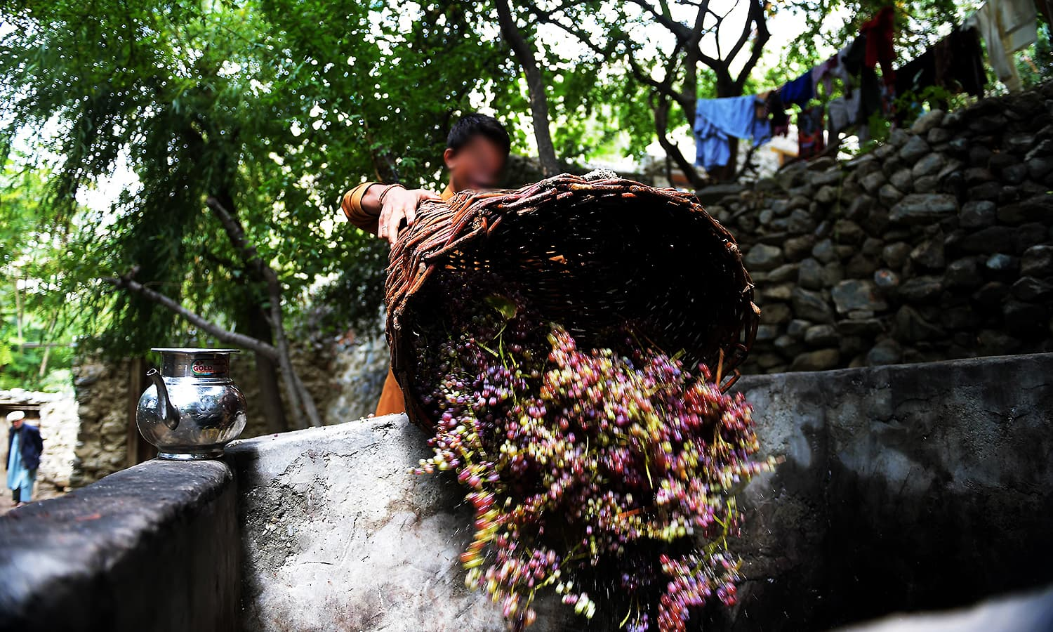 A local resident unloads a basket of freshly picked grapes into a cement tank. ─ AFP