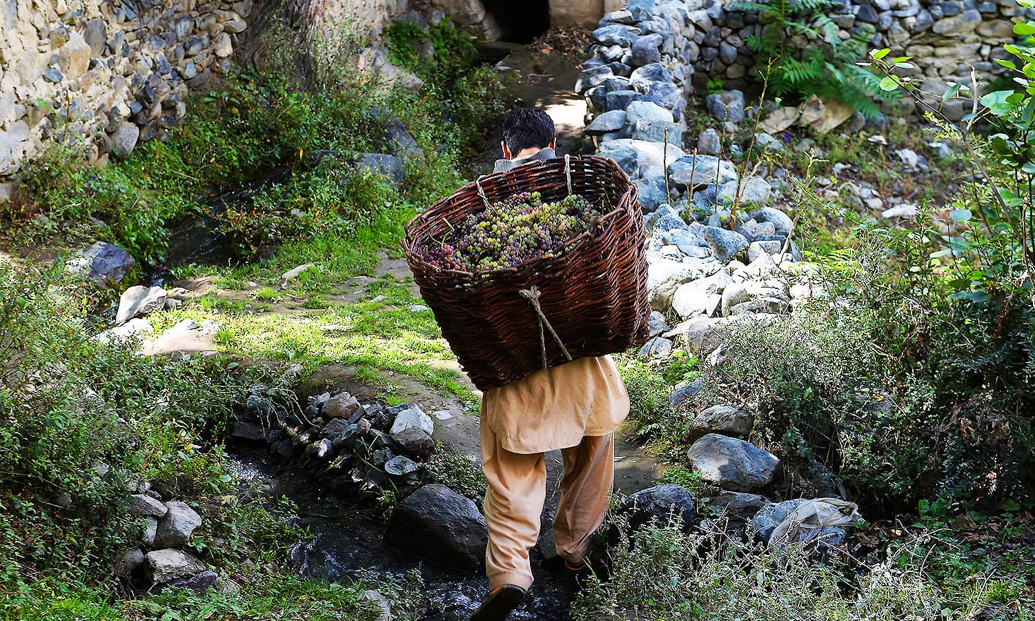 A local carries a basket of freshly picked grapes for brewing wine from a garden. ─ AFP