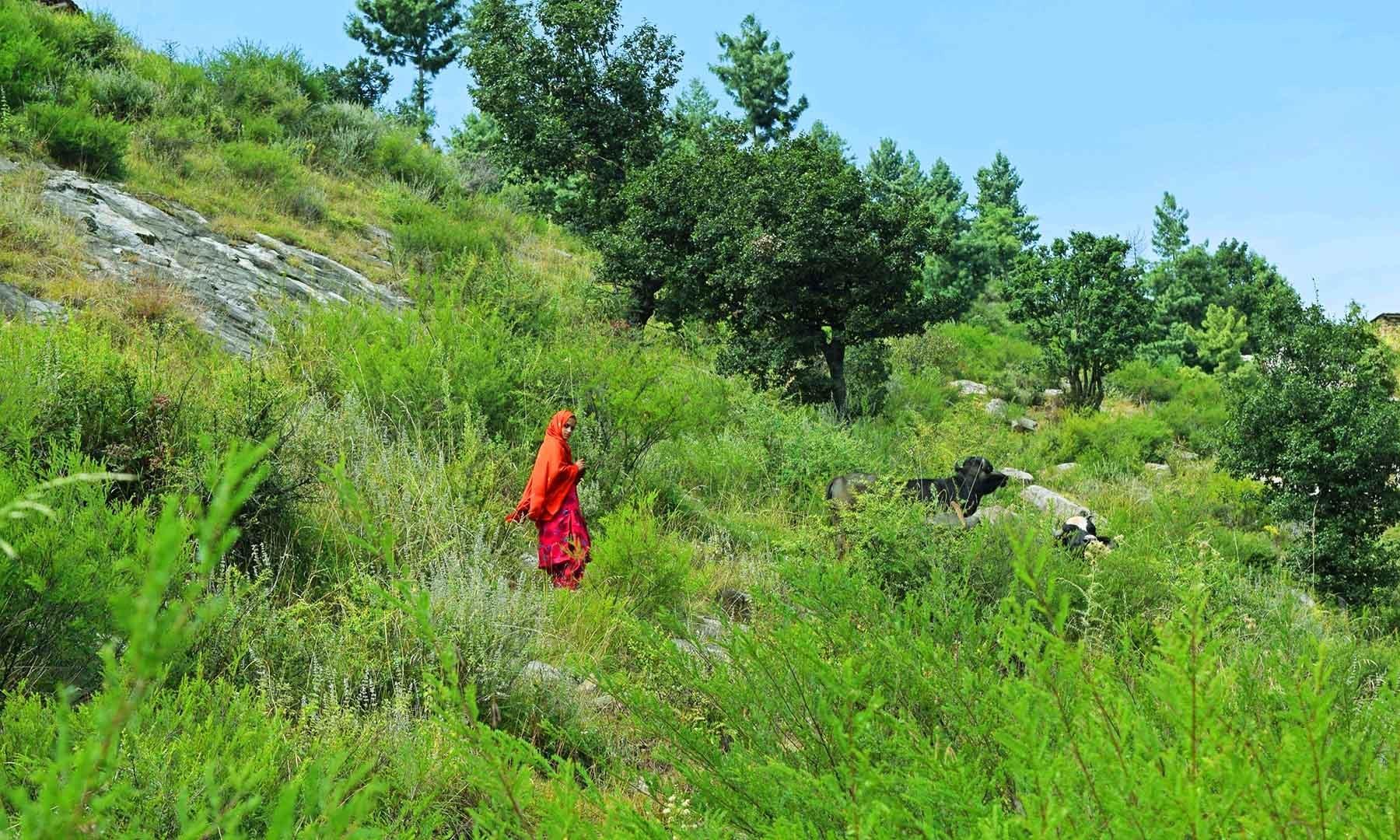 جوگیانو سر کے راستے میں ایک بچی مویشی چرا رہی ہے.