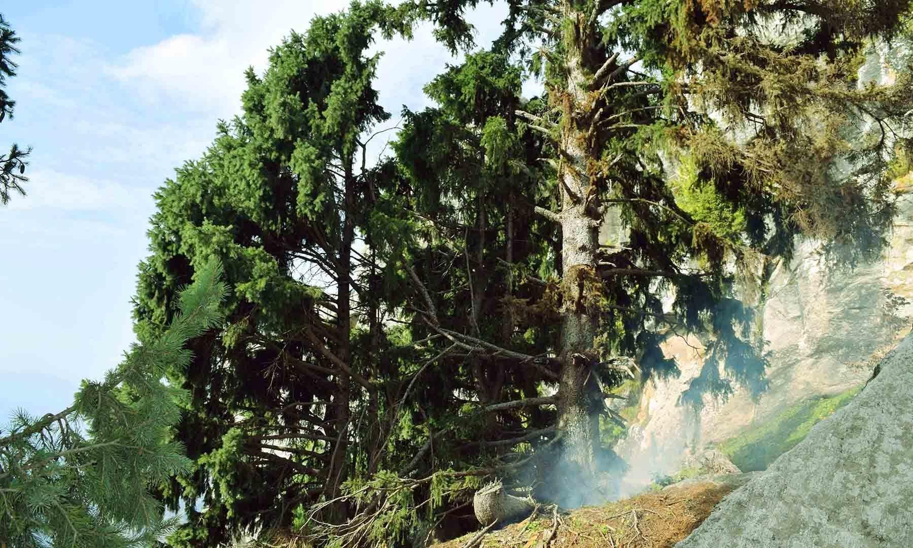 درخت کی جڑوں کو آگ لگائی گئی ہے، تاکہ اس کے کاٹنے کا جواز پیدا کیا جاسکے۔