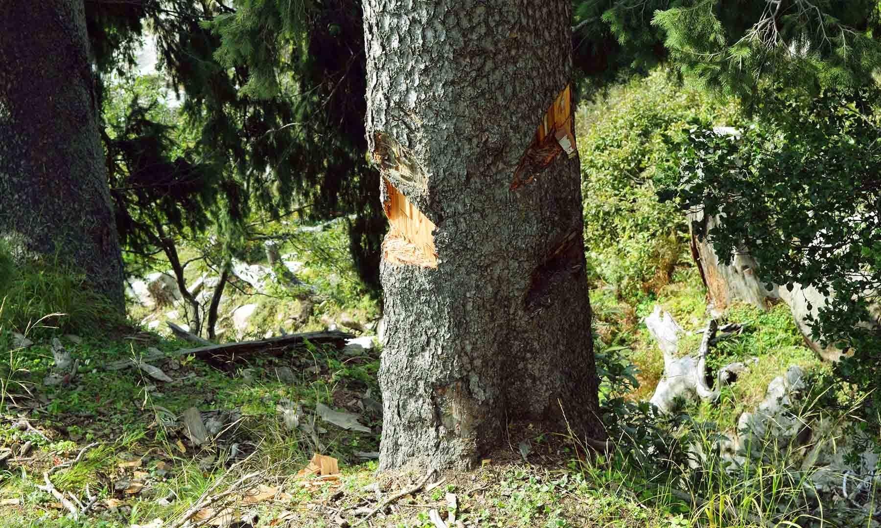 درخت پر کلہاڑے کی تازہ ضرب موجود ہے۔