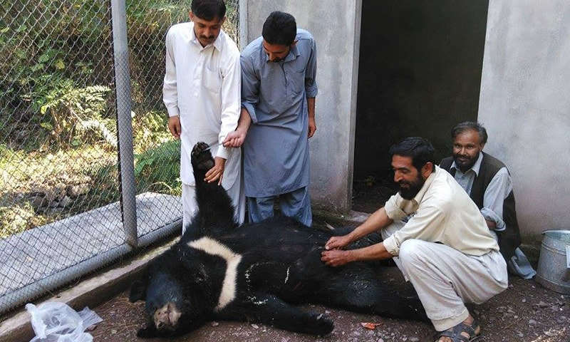 AJK wildlife department officials examining a dead female black bear in this file photo taken on October 13, 2015 in Patikka wildlife centre. The omnivore was shot dead in Katha Piran village of Neelum valley. —Photo by author