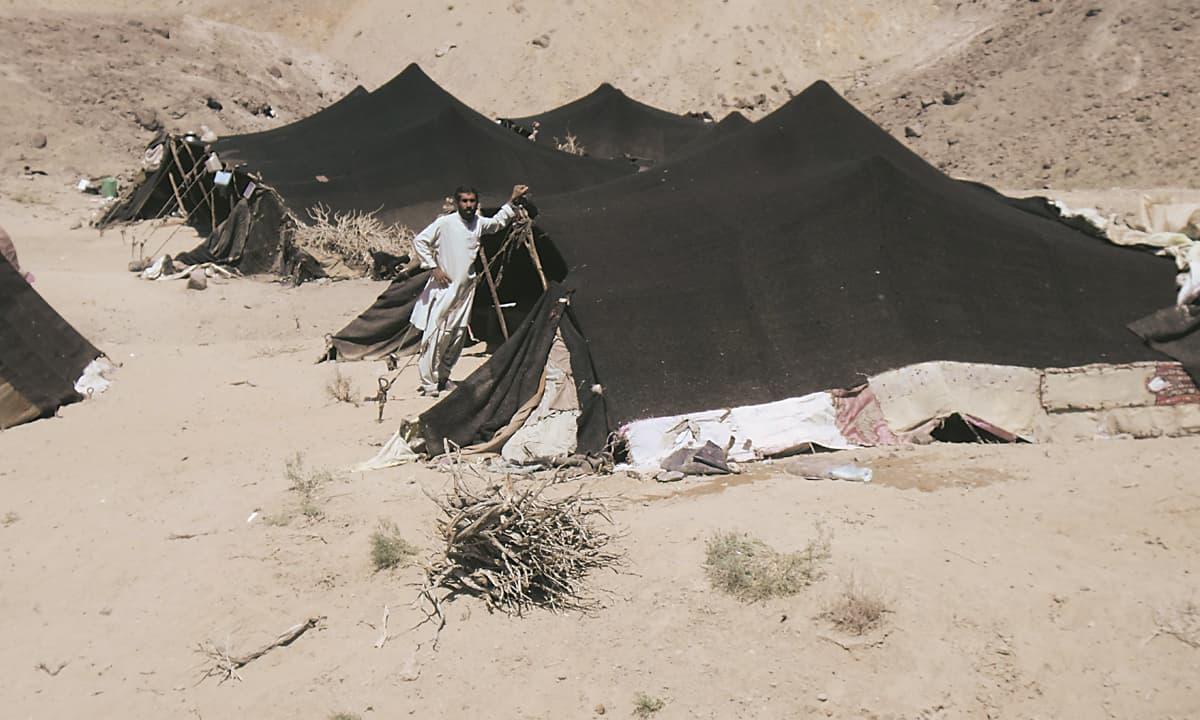 Gidaans in Chagai desert
