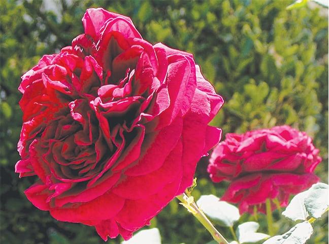 Hybrid rose — 'Emperor du Maroc'