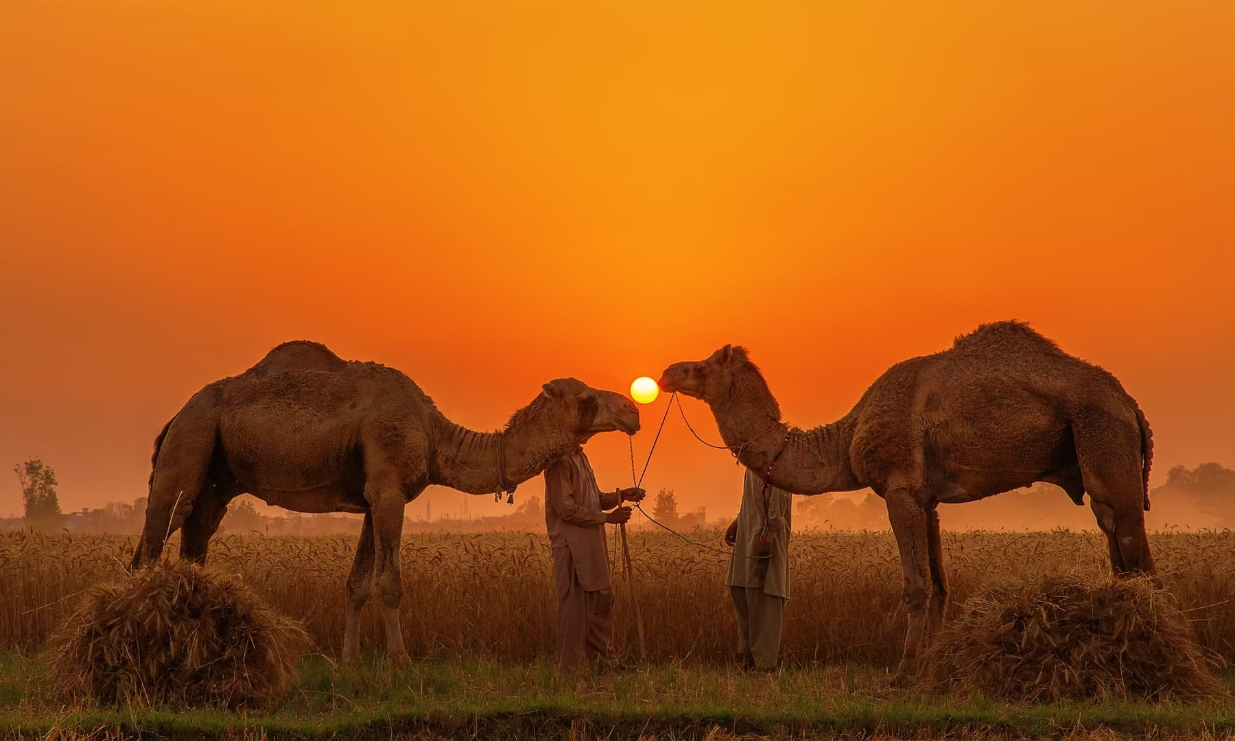 Camels and the sun.